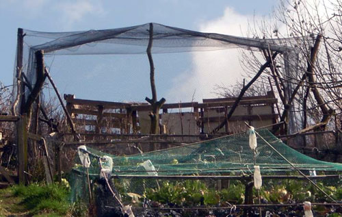 Fished fruitcage at allotment in brighton